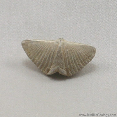 Brachiopod Fossil Mucrospirifer thedfordensis – Mini Me Geology