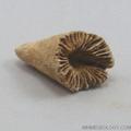 Horn Coral - Zaphrentis Species Fossil
