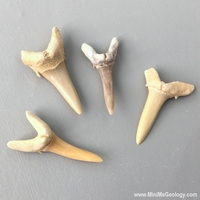 Image Sharks Teeth  Fossil - set of 4