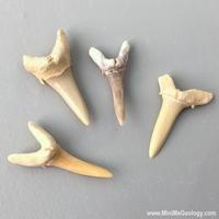 Image Sharks Teeth  Fossil - set of 4