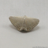 Image Spirifer Brachiopod - Mucrospirifer Thedfordensis Fossil