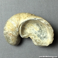 Image Fossil Oyster - Exogyra Arietina