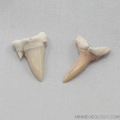 Sharks Teeth  Fossil - set of 4