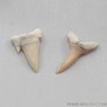 Sharks Teeth  Fossil - set of 4