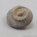 Snail Gastropod -  Trepospira Depressa Fossil