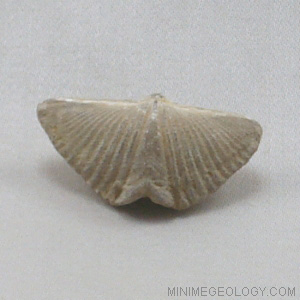 Spirifer Brachiopod - Mucrospirifer Thedfordensis Fossil